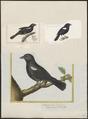 Tachyphonus melaleucus - 1700-1880 - Print - Iconographia Zoologica - Special Collections University of Amsterdam - UBA01 IZ15900263.tif