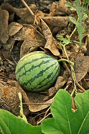 English: Watermelon in a small-scale organic f...