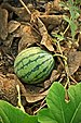Taiwan 2009 Tainan City Organic Farm Watermelon FRD 7962.jpg