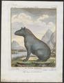 Tapirus americanus - 1700-1880 - Print - Iconographia Zoologica - Special Collections University of Amsterdam - UBA01 IZ22000275.tif