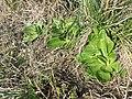 Taraxacum serotinum sl101.jpg