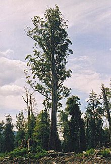 Tasmania logging 08 Mighty tree.jpg