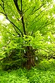 Tausendjährige Sommerlinde nahe Viechtwang.jpg