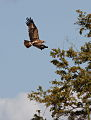 Tawny Eagle, Aquila rapax that we believe had caught a red billed buffalo weaver (Kruger Park) (12147757975).jpg