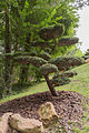 Taxus baccata (If commun) - 454.jpg