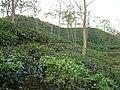 Tea Garden Srimongol Sylhet Bangladesh 4.JPG