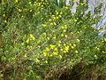 Teline linifolia 1c.JPG