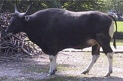 En bantengtjur fra Java