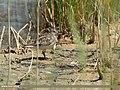 Temminck's Stint (Calidris temminckii) (45815869521).jpg