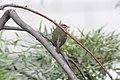 Tennessee Warbler (Oreothlypis peregrina) (5783786202).jpg