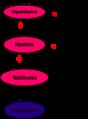 Testosterona-ciclo.png