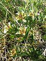 Teucrium montanum sl7.jpg