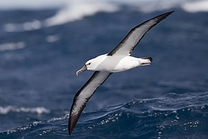 Indian yellow-nosed albatross - East of Port Stephens