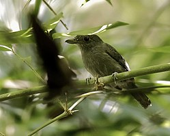 Thamnophilus murinus - Mouse-colored Antshrike (male).jpg