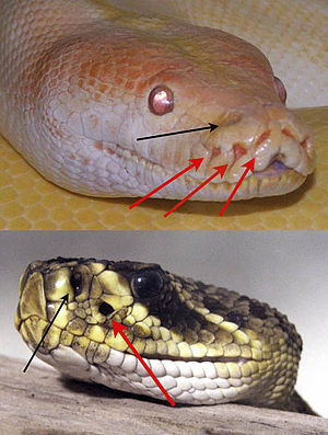 Infrared sensing in snakes - A python (top) and rattlesnake illustrating the positions of the pit organs. Arrows pointing to the pit organs are red; a black arrow points to the nostril.