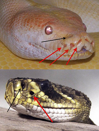 Animal communication - A python (top) and rattlesnake illustrating the positions of the pit organs. Red arrows indicate the pit organs whereas black arrows indicate the nostril.