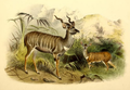 The book of antelopes (1894) Strepsiceros imberbis.png