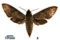 Theretra eitschbergeri paratype (Indonesia, Tanimbar, Yamdena isl., Lorulun vill.) (SMCR) female upperside.jpg