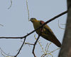 Thick-billed Green Pigeon (Treron curvirostra) at Jayanti, Duars, West Bengal W Picture 098.jpg