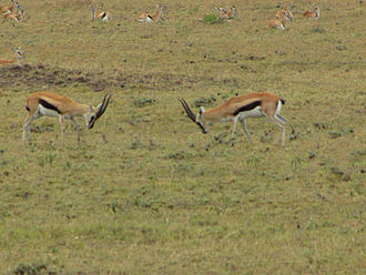 Thomson's gazelle - Two male gazelles in an agonistic display with females nearby