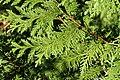 Thuja koraiensis PAN foliage 4.JPG