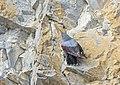 Tichodrome échelette Tichodroma muraria aDSC 1058 (51082255012).jpg