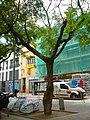 Tipuana de la plaça del Nord P1510458.jpg