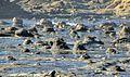 Tocones fósiles de coníferas (Jurásico) - Curio Bay Petrified Forest (Waikawa, South Island, Nueva Zelanda) - 06.jpg