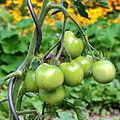 Tomate (Solanum lycopersicum) 03.jpg