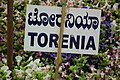 Torenia at lalbagh 7357.JPG