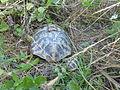Tortoises in Krushevska Reka valley - P1100143.JPG