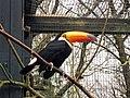 Toucan at Birdworld - geograph.org.uk - 1202418.jpg