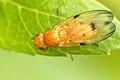 Toxoneura.quinquemaculata.-.lindsey.jpg