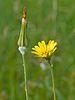 Tragopogon pratensis - harilik piimjuur.jpg