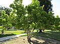 Tree at University of Utah (36686742641).jpg