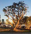 Trees at Embarcadero Marina Park North (00091).jpg