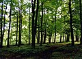 Trees in Chopwell Wood - geograph.org.uk - 103464.jpg