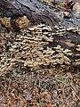 Trichaptum biforme 117831714.jpg
