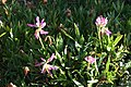 Trifolium alpinum, Valgrisenche - img 23310.jpg