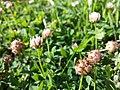 Trifolium fragiferum (subsp. fragiferum) sl38.jpg