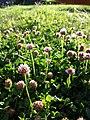 Trifolium fragiferum (subsp. fragiferum) sl40.jpg