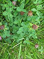 Trifolium pratense leaf2 (10733530946).jpg