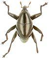 Trigonopterus politoides holotype - ZooKeys-280-001-g063.jpg