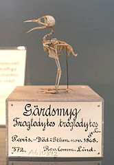 Troglodytes troglodytes - Swedish Museum of Natural History - Stockholm, Sweden - DSC00674.JPG