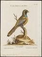 Trogon curucui - 1700-1880 - Print - Iconographia Zoologica - Special Collections University of Amsterdam - UBA01 IZ16700339.tif