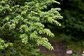 Tsuga diversifolia 03.jpg