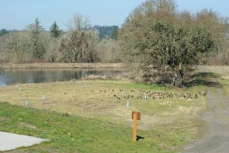 Tualatin River National Wildlife Refuge - Geese at the refuge in winter