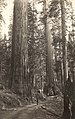 Tunneled Tree Wawona Mariposa Big Trees, Cal. C.R. Savage, Salt Lake (cropped).jpg