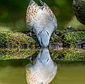Turtle Dove Drinking (19019250278).jpg