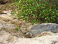 Turtle preparing to lay 6483.JPG